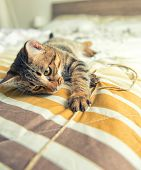 stock photo of yellow tabby  - Tabby cat with yellow eyes plays on bed