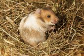 stock photo of hamster  - Hamster in a hay - JPG