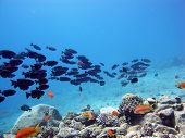 stock photo of bigeye  - A school of red common bigeyes facing the current - JPG
