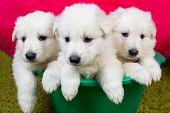 stock photo of swiss shepherd dog  - Three baby swiss shepherd sitting in green wash - JPG