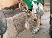 Four Adult Donkeys Harnessed And Chained Up