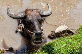 stock photo of wallow  - Vietnamese water buffalo wallowing in muddy water near Vinh Long in the Mekong delta - JPG
