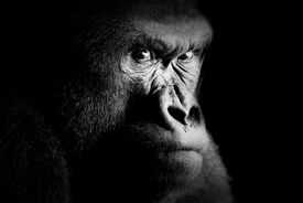 stock photo of gorilla  - Fine art portrait of a gorilla  - JPG