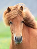 pic of chestnut horse  - Closeup on the head of Icelandic horse Iceland.