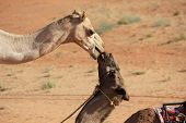 pic of desert animal  - Camels in Love. A Kiss in the Wahiba Sands desert in Oman.