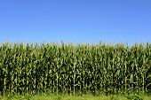 picture of zea  - Agricultural field of fresh green corn or maize plants Zea Mays growing in the summer sun used as silage for livestock and as a staple food source - JPG