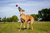 Постер, плакат: Great Dane trying to catch red ball in the air