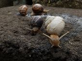 image of albinos  - An albino garden snail and other three snails - JPG