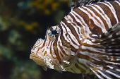 picture of fire coral  - Close up half body Lionfish Beautiful marine fish on the sea - JPG