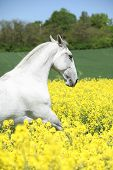 stock photo of lipizzaner  - White lipizzaner in colza field in spring - JPG