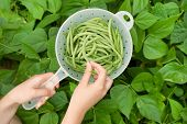 image of green bean  - Horizontal view of female hands holding freshly picked green beans within plastic container and bean garden in background - JPG