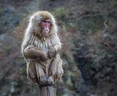 picture of macaque  - Snow monkey or Japanese Macaque in hot spring onsen - JPG
