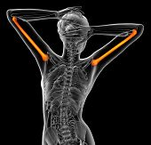 foto of humerus  - 3d render medical illustration of the humerus bone  - JPG