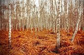 picture of fern  - Retro style picture of autumn birch grove with red fern - JPG