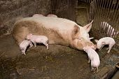 foto of piglet  - Little piglets suckling their mother - JPG