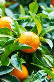 foto of valencia-orange  - orange tree - JPG