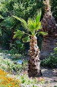 stock photo of washingtonia  - Washingtonia filamentous  - JPG