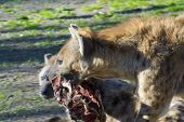 pic of hyenas  - Spotted hyena  - JPG