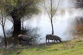 foto of pig  - Pigs eat drink and get dirty in the swamp - JPG