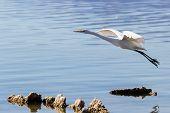 Постер, плакат: Great Egret ardea Alba