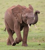 foto of elephant ear  - Large male African elephant with trunk extended smelling for water - JPG