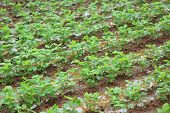 pic of soybeans  - green soybean plants in growth at field