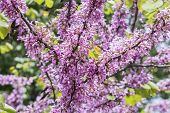 stock photo of judas tree  - Judas tree flower (Cercis siliquastrum), sunny day.