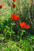 pic of windflowers  - Blooming red anemones on green grass - JPG