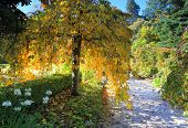 picture of weeping  - A beautiful weeping tree its graceful long slender limbs with ovate leaves colours of gold yellow and green that is backlit by the sunlight - JPG