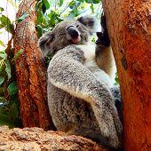 foto of koalas  - Caught a sleeping koala in a tree in australia  - JPG