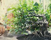 foto of bonsai  - Bonsai tree in the open outdoors showing pot and plain green background