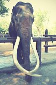 stock photo of tusks  - Old asian elephant with long tusks - JPG