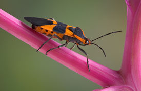 picture of pokeweed  - A milkweed bug is walking on a stem of the pokeweed plant - JPG