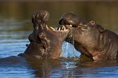 Hippopotamus amphibius busy fighting; South Africa
