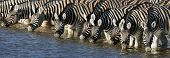Panorama of zebra heads drinking water in Etosha; Equus burchell's