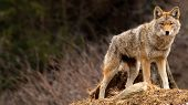 stock photo of quadruped  - Coyote on Top of a Hill - JPG