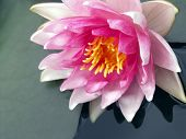 stock photo of water lily  - pink water lily - JPG