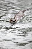European Otter (Lutra lutra), also known as Eurasian otter, Eurasian river otter, common otter and Old World otter poster