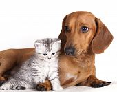 picture of cat dog  - dachshund dog and kitten - JPG