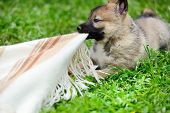 A Beautiful Siberian Laika Puppy Play On The Grass poster