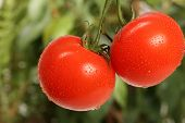pic of tomato plant  - Fresh red tomatoes - JPG