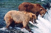 USA, Alaska, Katmai National Park, two Brown Bears catching Salmon standing in river above waterfall poster