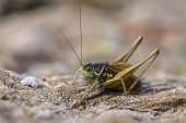 Roesels Bush Cricket In Natural Environmnt poster