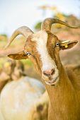 close up portrait of a domestic nubian goat poster