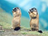 Two Marmots poster