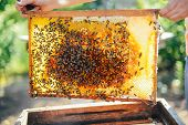 Frames Of A Bee Hive. Beekeeper Harvesting Honey. The Bee Smoker Is Used To Calm Bees Before Frame R poster