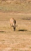 image of blacktail  - solitary California Blacktail buck grazing on grass - JPG