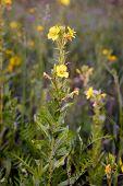 Open Yellow Oenothera Biennis poster