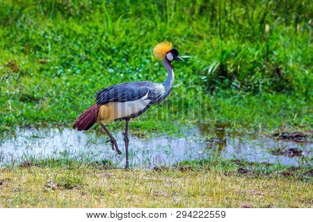 Crowned Crane near the water