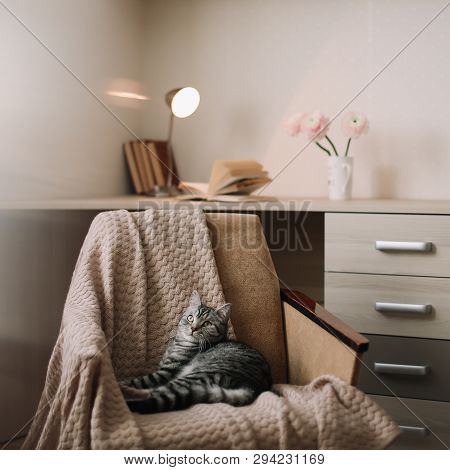 poster of Home Pet Cute Kitten Cat Lying In The Chair With Funny Looking Close Up Photo. Cute Scottish Straigh
